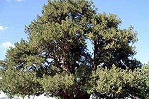 Zonguldak'ta 1600 yaşında porsuk ağacı.61647