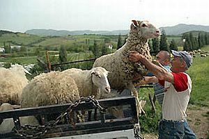 Çalınan 14 koyun geriye 22 olarak geldi.19245