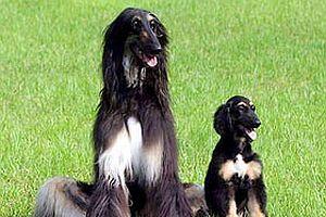 Klonlanmış köpek baba olacak.20123