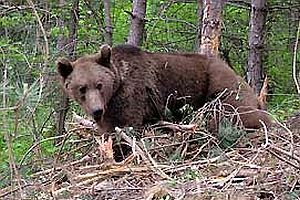 Kastamonu'da bir ayı domuz tuzağına takıldı.29298