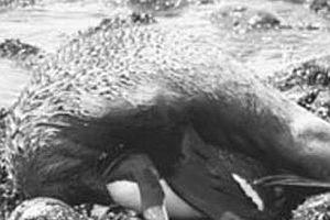 Fok balığı penguene tecavüz etti!.13620