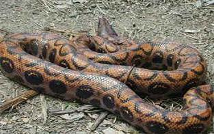 Hayvanat bahçesinden piton yılanı çalındı.22201