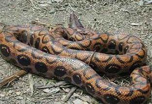 Tuvalete giren yılan ev sahibini korkuttu.24781