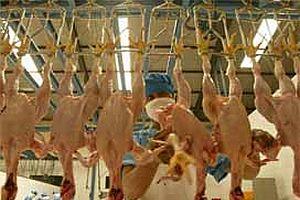 Kene, tavuk sektörüne de zarar verdi.19207