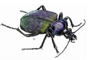 Bu böcek çamları kurtaracak.8870