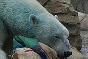 Yeşil kutup ayısı.11860
