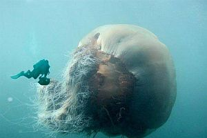 250 kg denizanası görenleri hayrete düşürüyor FOTO.9659
