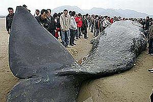 İzlanda'da balina avı başladı.22788