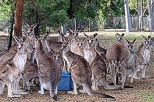 Kanguru itlafını engellemeye tutuklama.29830