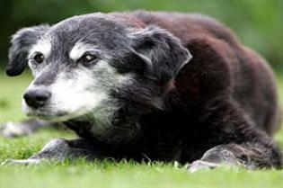 Dünyanın en yaşlı köpeği.15496
