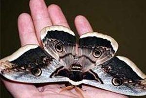 El büyüklüğünde kelebekler korkuttu.14483