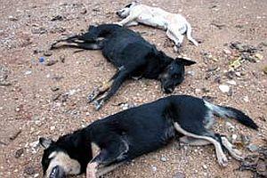 Ankara'da 21 bin köpek öldü.21327