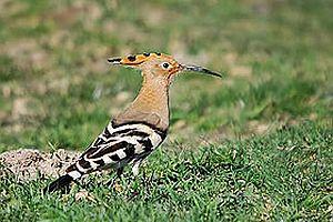 İsrail'in sembolü ibibik kuşu oldu.21194