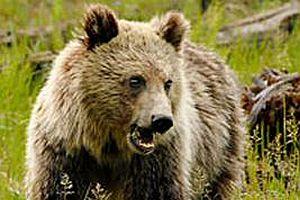 Kafası kavanoza sıkışan ayı öldürüldü.19036
