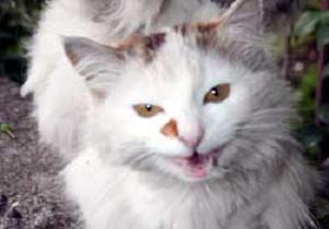 Kanatlı kedi görenleri şaşırtıyor.10165