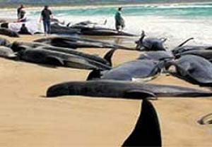 Onlarca balina sahile vurdu.12103