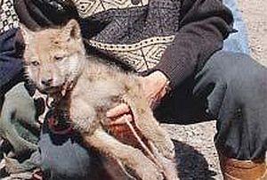Yavrularını kaybeden anne kurt, köylülere savaş açtı.19746