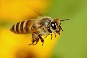 Kanada'da arı taşıyan kamyon devrildi.7850