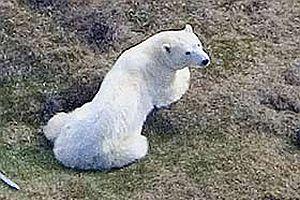 İzlanda'ya yüzerek gelen kutup ayısı vuruldu.23709