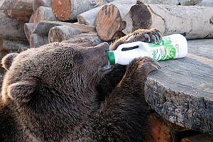 Yaralı ayı yavrusu tedavi altına alındı.28929
