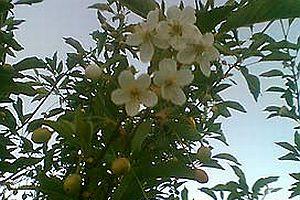 Ağaç hem meyve verdi hem de çiçek açtı.25414