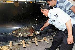 Caretta caretta'nın kafatasını kırdılar.20119
