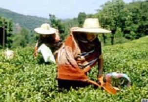 Çay üreticisinden prime tepkili!.16436