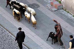 Koyunu tekme tokat dövdü.16599