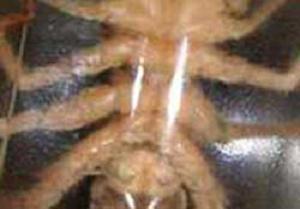 Etçil dev örümcek yakalandı.10006
