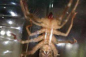 Nevşehir'de etçil dev örümcek.13946