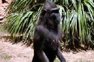 Bu maymun görenleri şaşırtıyor.17054