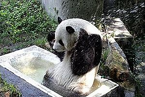 Depremden kurtulan panda ikiz doğurdu.27482