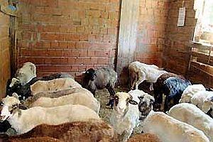 Apartmanda inek-koyun beslemeye yasal işlem.20090