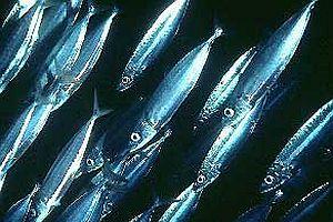 Kızıldeniz'in zehirli balıkları Akdeniz'e akıyor.22948