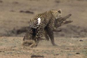 Leopar, timsahı böyle mideye indirdi.9388