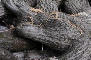 Türkiye'nin en yaşlı kestane ağacı.15732