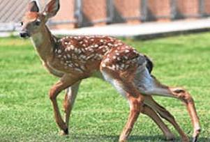Altı ayaklı 2 kuyruklu geyik.14635