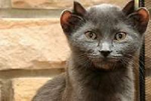 Bu kedinin 4 kulağı var.10848