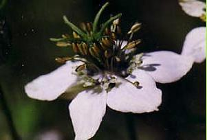 Bu bitkinin kokusu başağrısına ilaç.9958