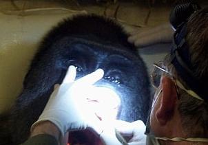 Di��i koltu�unda goril!.10317