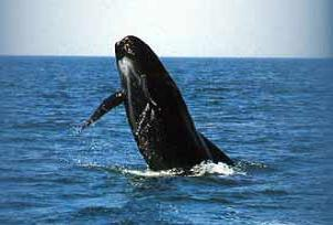 İlk balinalar karada doğmuş.11968