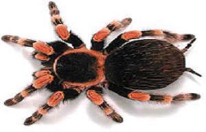 İsveç'i 'tarantula'lar istila etti.10814