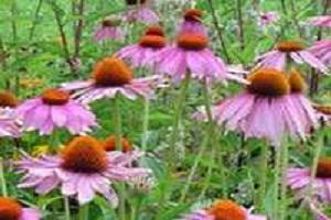 Şifa kaynağı bitki!.15931