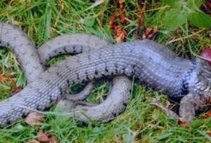 Yılan, kurbağayı mideye indirecekti ki....17534