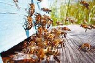 Arı kovanına çomak sokunca.15287