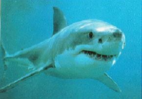 Akdeniz'de 6 metrelik köpekbalığı yakalandı.9212