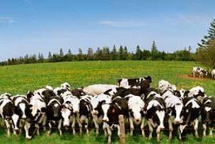 Ödemiş'te günlük süt 1 milyon ton.15791