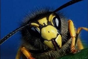 Arıları cep telefonu frekansları mı yok ediyor?.11408