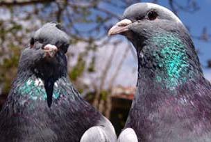 İran'dan casus güvercin iddiası.14334