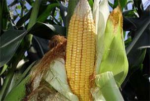 Transgenetik mısırda üreme tehlikesi.14617